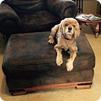 Adopt A Pet :: Goldie - Shawnee Mission, KS