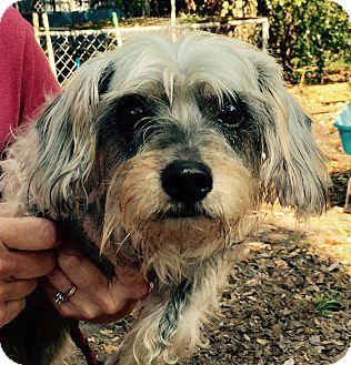 Schnauzer (Miniature)/Dachshund Mix Dog for adoption in Orlando, Florida - BJ