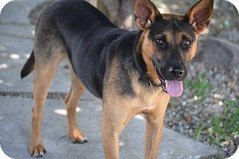 German Shepherd Dog Mix Puppy for adoption in Greeneville, Tennessee - Kimmel