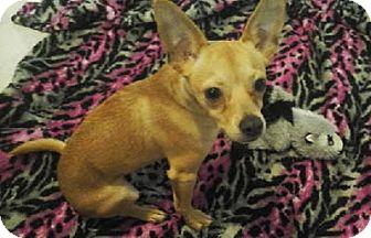 Miniature Pinscher Mix Puppy for adoption in Avon, New York - Rocky