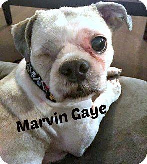 Shih Tzu Mix Dog for adoption in Metairie, Louisiana - Marvin Gaye