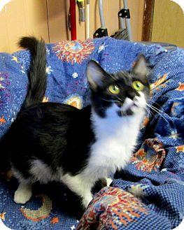 Domestic Mediumhair Cat for adoption in Olney, Illinois - Clapton