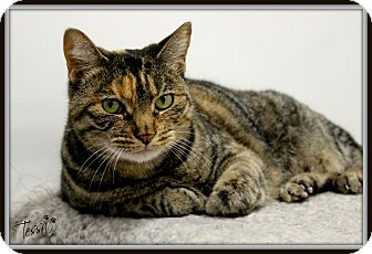 Domestic Shorthair Cat for adoption in Dunkirk, New York - Tessa