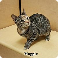 Adopt A Pet :: Magpie - Bentonville, AR