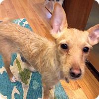 Adopt A Pet :: Priscilla - Chicago, IL