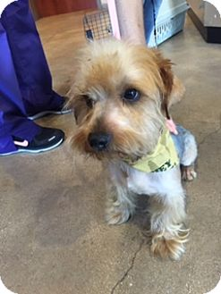 Silky Terrier Mix Dog for adoption in Hartford, Connecticut - Richard