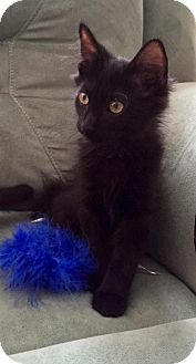 Domestic Mediumhair Kitten for adoption in Sarasota, Florida - Hans