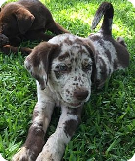 Catahoula Leopard Dog/Labrador Retriever Mix Puppy for adoption in Croydon, New Hampshire - Smoke - Adopted!