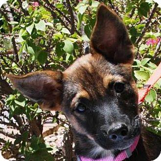 German Shepherd Dog Mix Puppy for adoption in Gilbert, Arizona - Loni