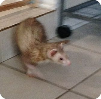 Ferret for adoption in Navarre, Florida - Cali