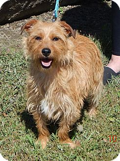 Glen of Imaal Terrier/Cairn Terrier Mix Dog for adoption in Niagara Falls, New York - Ace (14 lb) Great Family Pet!