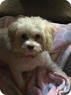 Maltese/Toy Poodle Mix Dog for adoption in Spring, Texas - Pebbles