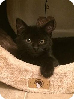 Domestic Shorthair Kitten for adoption in West Des Moines, Iowa - Bocelli