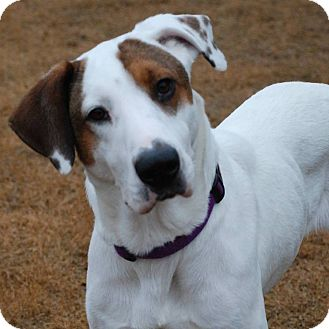 Pointer Mix Dog for adoption in CUMMING, Georgia - Roxie