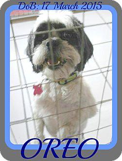 Lhasa Apso Mix Dog for adoption in Albany, New York - OREO