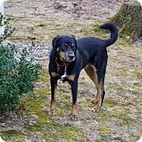 Adopt A Pet :: Sammy - Bedford Hills, NY