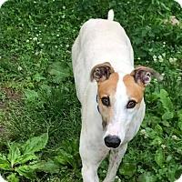 Adopt A Pet :: Mack - Independence, MO