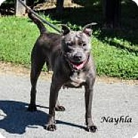 American Pit Bull Terrier Mix Dog for adoption in Madisonville, Tennessee - Nayhla