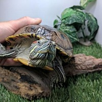 Adopt A Pet :: Mrs. Sqwiggles - Pefferlaw, ON