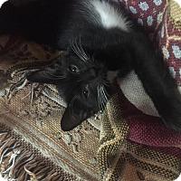 Adopt A Pet :: McKayla - chatty girl! - Cincinnati, OH