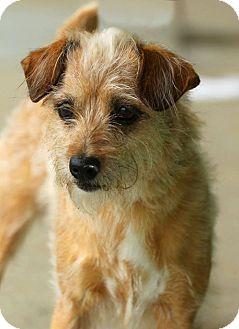 Schnauzer (Miniature) Mix Dog for adoption in Lafayette, Indiana - Maddie