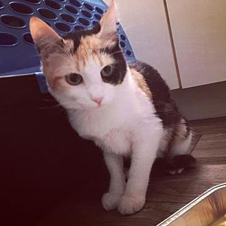 Calico Cat for adoption in DFW Metroplex, Texas - Buttercup