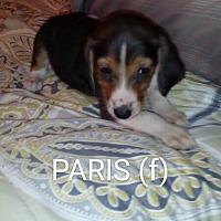 Adopt A Pet :: Paris - Brunswick, ME