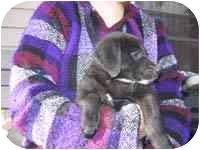 Labrador Retriever Mix Puppy for adoption in Provo, Utah - Jem