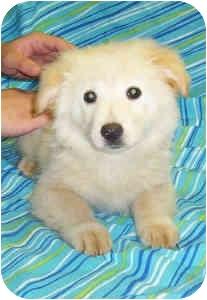 Golden Retriever/Chow Chow Mix Puppy for adoption in Murphysboro, Illinois - Snorkle