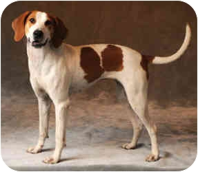 Pointer/Treeing Walker Coonhound Mix Dog for adoption in Chicago, Illinois - Shana*ADOPTED!*