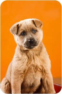 Chow Chow/Labrador Retriever Mix Puppy for adoption in Portland, Oregon - Blaze