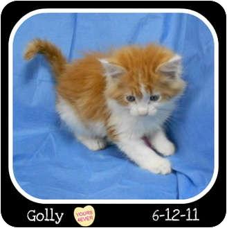 Domestic Mediumhair Kitten for adoption in Westport, Connecticut - Golly
