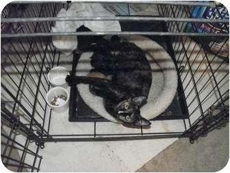 Domestic Shorthair Cat for adoption in White Settlement, Texas - Kam