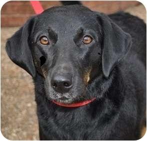 Black and Tan Coonhound/Labrador Retriever Mix Dog for adoption in Atlanta, Georgia - Allie