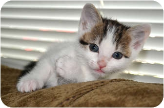 Domestic Shorthair Kitten for adoption in Houston, Texas - Wicket