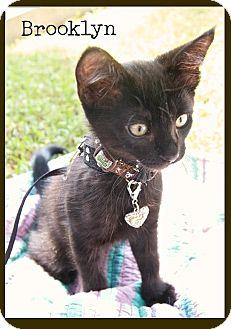 Domestic Shorthair Kitten for adoption in Santa Monica, California - Brooklyn