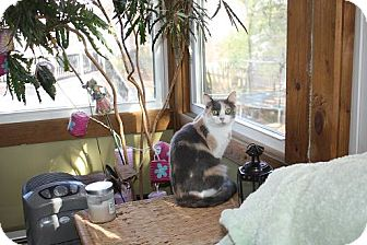 Calico Cat for adoption in St. Louis, Missouri - Spice