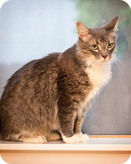 Maine Coon Cat for adoption in San Antonio, Texas - Willow