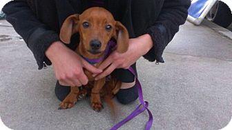 Dachshund Mix Puppy for adoption in Burbank, California - LongJohn