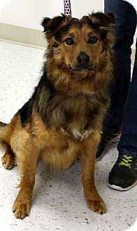 Border Collie/Chow Chow Mix Dog for adoption in Chambersburg, Pennsylvania - Tyson