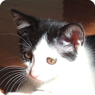 Domestic Shorthair Kitten for adoption in Hamilton, New Jersey - PEPPERMINT - 2013