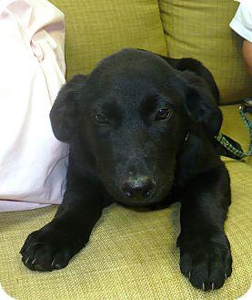 German Shepherd Dog/Labrador Retriever Mix Puppy for adoption in Eastpoint, Florida - Sochi