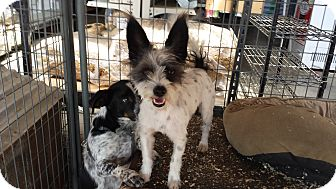 Westie, West Highland White Terrier/Jack Russell Terrier Mix Dog for adoption in Albuquerque, New Mexico - Bingo