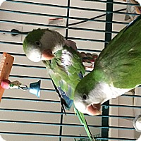 Parakeet - Quaker for adoption in Punta Gorda, Florida - Sweetie