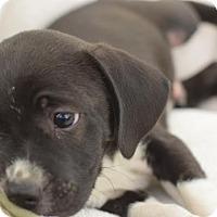 Adopt A Pet :: Alexander - South Jersey, NJ