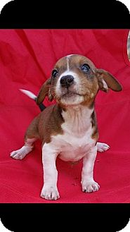 Jack Russell Terrier Mix Puppy for adoption in Spring Valley, New York - Avery (POM-SD)