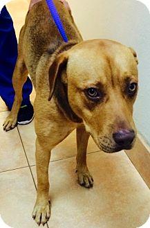 American Bulldog/Labrador Retriever Mix Dog for adoption in Fort lauderdale, Florida - LUCKY