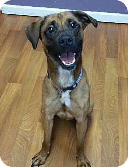 Boxer/Belgian Malinois Mix Dog for adoption in Lisbon, Ohio - Danny Boy