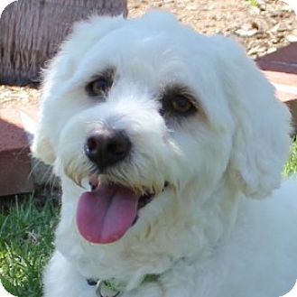 Bichon Frise Mix Dog for adoption in La Costa, California - Scooter