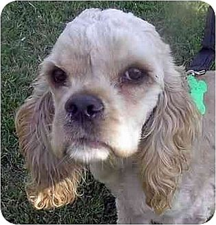 Cocker Spaniel Puppy for adoption in Downey, California - Tabitha